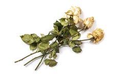 Roses fanées d'isolement sur le fond blanc Roses congelées sur un fond blanc Calibre de maquette de roses fanées image libre de droits