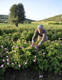 Roses farm worker. Old man work in a roses field Royalty Free Stock Images