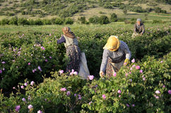 Roses farm workers. People work in a roses field (Roses for rose oil Royalty Free Stock Photos