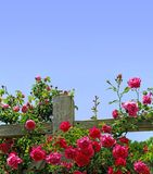 Roses on a fence. Floribunda roses on a rail fence stock images