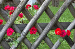 Roses on a fence Royalty Free Stock Images