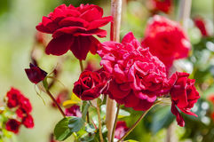 Roses. Few beautiful roses in garden Royalty Free Stock Photos