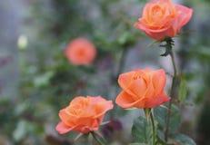 Roses fleurissant dans le jardin Photos libres de droits