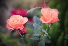 Roses fleurissant dans le jardin Images libres de droits
