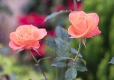Roses fleurissant dans le jardin Photo libre de droits