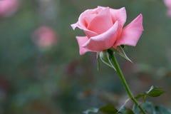 Roses fleurissant dans le jardin Photo stock