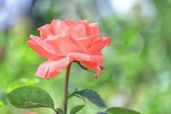 Roses fleurissant dans le jardin Photos stock