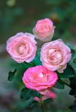 Roses fleurissant dans le jardin Photographie stock
