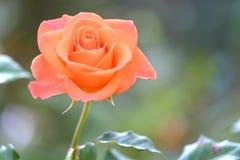 Roses fleurissant dans le jardin Image libre de droits