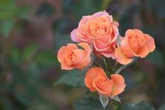 Roses fleurissant dans le jardin Image stock