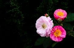 Roses roses fleurissant sur son arbre d'isolement sur le fond foncé de pin image stock
