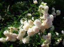 Roses fleurissantes luxuriantes de jardin de buissons de macro photo avec les fleurs blanches Images stock