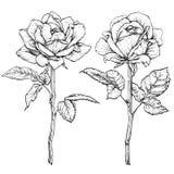 Roses fleurissantes tirées par la main Positionnement de fleur Illustration de vecteur Images libres de droits