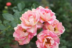 Roses fleurissantes très belles dans le jardin Photos stock