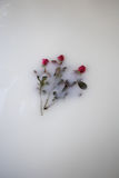 Roses floating in milk. Three roses floating in milk bath Royalty Free Stock Photography