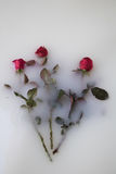 Roses floating in milk. Three rose flowers floating in a milk bath Royalty Free Stock Photography
