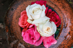 Roses floating in the water. Stock Photo