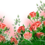 Roses, floral background Stock Images