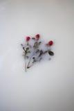 Roses flottant en lait Photographie stock libre de droits