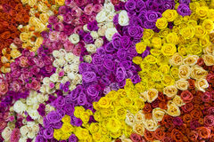 Roses flower background Stock Image