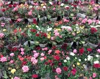 Roses flower Stock Photos