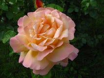 Roses flower. Green plants. Green grass. Roses flower. Green plants. Green grass Royalty Free Stock Photos