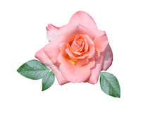 Roses flower. Is isolated a holiday stock photo