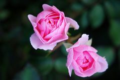 Roses, Flower, Nature, Macro, Pink Stock Images