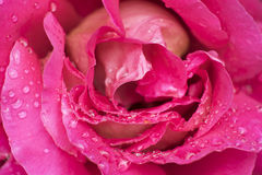 Roses flower in pink color Royalty Free Stock Image