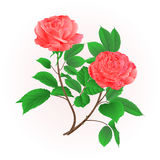 Roses flower pink twig with leaves nature background vintage hand draw vector Stock Photography