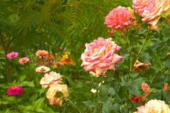 Roses in flowerbed close-up Royalty Free Stock Image