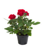 Roses in flowerpot. A bunch of roses in the black Roses in flowerpot Royalty Free Stock Photography