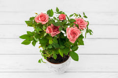 Roses in flowerpot Royalty Free Stock Image