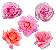 Roses Flowers Royalty Free Stock Images