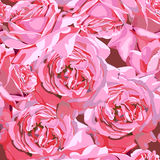 Roses flowers blossom Royalty Free Stock Photo
