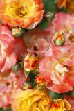 Roses, flowers Royalty Free Stock Image