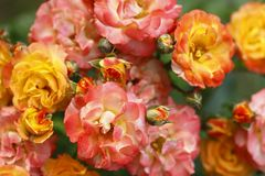 Roses, flowers Royalty Free Stock Photos