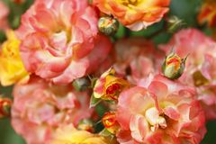 Roses, flowers Royalty Free Stock Photo