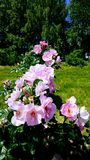 Roses. Flowers, garden, nature, park royalty free stock images