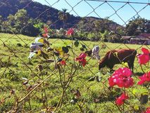 OX roses flowers Green Garden Nature botanical landscape Flora stock image