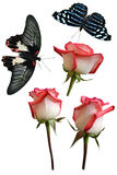 Roses flowers it is isolated butterfly. Pachliopta aristolochiae royalty free stock image