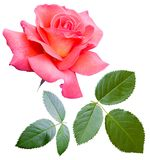 Roses flowers it is isolated a holiday Royalty Free Stock Image