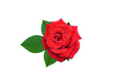 Roses flowers. It is isolated a holiday royalty free stock photo