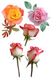 Roses flowers. It is isolated a holiday royalty free stock photography