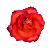 Roses flowers. It is isolated a holiday stock images
