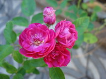 Roses - Flowers Royalty Free Stock Photo
