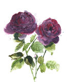 Roses flowers watercolor painting isolated on white background Stock Photo