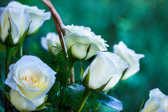 Roses, fond d'image, roses dans le jardin Images libres de droits