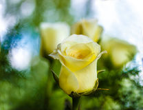 Roses, fond d'image, roses dans le jardin Image stock