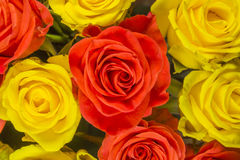 Roses - fond jaune Image stock
